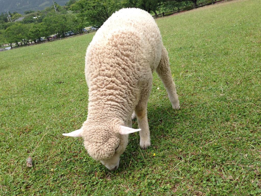 もふもふ羊の赤ちゃん