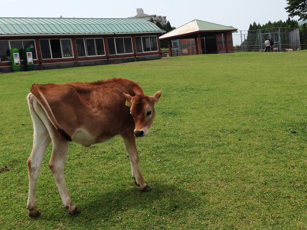 綺麗な牛さん